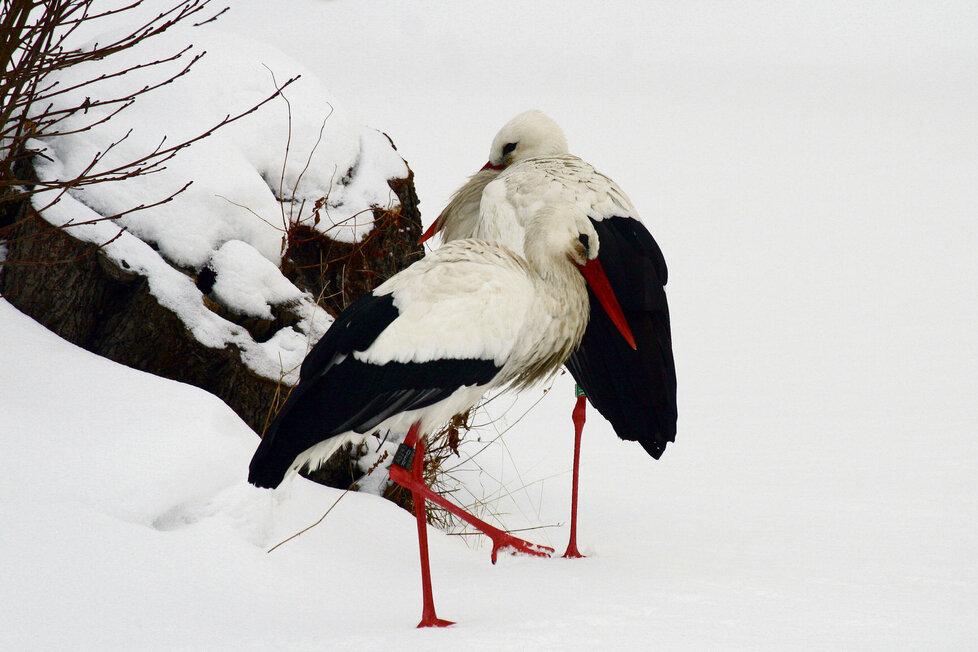 Čáp bílý se přes sněhovou pokrývku obtížně dostává k potravě.