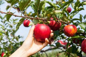 Po bramborách nebudou letos jablka ani hrušky. Úrodu zdecimovaly jarní mrazy