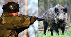 Divočáci na talíři po celý rok: Myslivci mohou prasata lovit bez omezení