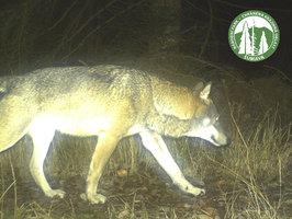 Na D1 srazilo auto vlka: Za smrtí šel stovky kilometrů, pocházel z Karpat