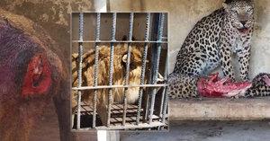 Zoo hrůzy v Jemenu: Hladová zvířata požírají sama sebe
