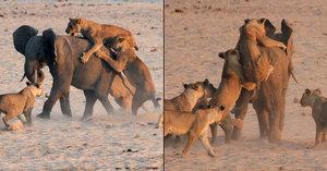 Statečné slůně: Zahnalo na útěk 14 lvic!