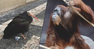 Nejen ibisové. Z výběhu v pražské zoo utekl i gepard, orangutan a dikobraz