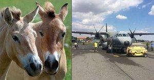 Stěhování koní Převalského: Čtyři klisny opustily Prahu, nový domov najdou v Mongolsku