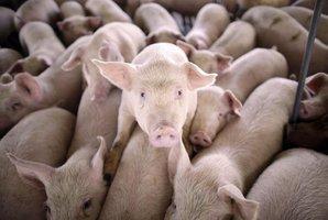 Jatka zažívají lepší časy. Produkce masa v Česku mírně stoupla