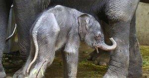 Sloní mimino v pražské zoo už ví: Chobot nemám pro parádu!