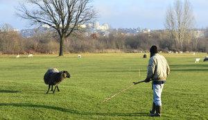 Ovce na golfovém hřišti? V Lahovicích živé sekačky na trávu vystřídaly hráče