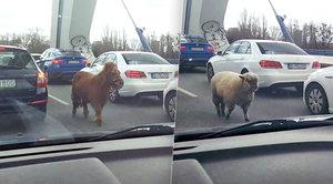 Poprask na bratislavském mostě: Pobíhali po něm poník a ovečka!