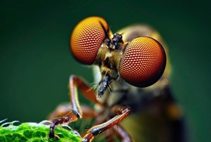 Nejvýkonnějším dravcem je tisícioká muška. Vědci ji překřtili na hmyzí Top Gun