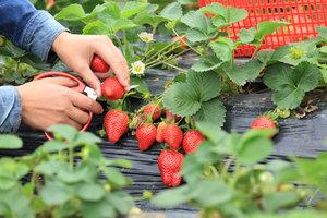 Jak si zajistit dobrou úrodu ovoce: Jaké vybrat hnojivo a jak poznáte plíseň?