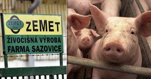 Africký prasečí mor v Česku: Velkochov ze Zlínska si po testech oddychl