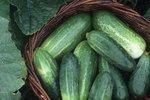 Plíseň okurková zase útočí. Pomůžeme vám zachránit úrodu!