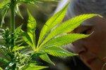 Německo bude pěstovat marihuanu pro lékařské účely. Poprvé sklidí do dvou let