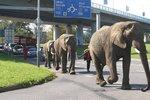 Tři sloni na procházce centrem Děčína.