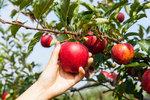 Bez šťavnatých chutných jablek si většina z nás podzim nedokáže představit. Často si však nakoupíme hned několik druhů, které nás zaujmou, a pak se divíme, že nám některá už po týdnu začnou hnít. Důvod je zcela prozaický. V minulosti každé jablko mívalo svůj čas. Prodávala se a jedla tak, jak se česala, jak podle odrůdy vydržela, jaký byl sklep. Dnes jsou obchody a tržiště po celý rok přeplněny rozličnými odrůdami, v nichž se nevyznáme.