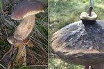Na houbaře čekají v lesích unikáty. Čtenáři Blesku našli včera dvoupatrový suchohřib i kozák s »rádiovkou«.