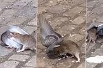 Potkan napadl a zakousl holuba přímo v New Yorku.