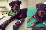 Rotvajlerovi umrzly všechny čtyři packy: Díky dárcům dostal pes Brutus protézy