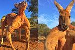 Svalnatý klokan Roger z Austrálie udivuje svou muskulaturou.