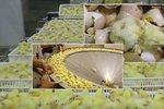 Šílené záběry z kuřecích líhní: Takhle krutě se zachází s kuřátky, než vám skončí na talíři