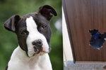 Pes z Opavy už nechtěl být doma sám, tak se prokousal dveřmi