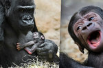 Gorilí mládě z pražské zoo je na světě jen týden, umí se ale pořádně ozvat: Mamí, mám hlad!