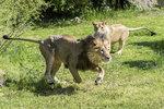 Lvi indičtí z pražské zoo už »dovádí« venku: Zalezlí byli kvůli počasí