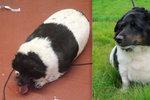 Vykrmila ho v chlupatou kouli: Ženě sebrali ochránci morbidně obézního psa