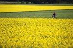 Žlutá záplava: V Česku bude letos ještě víc řepky než loni