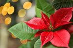 Co s vánoční hvězdou, aby vykvetla i za rok? Víme, jak ji pěstovat