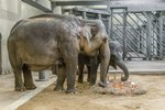 Slonice Sita oslavila poslední narozeniny v pražské zoo. Dostala dort a musí pryč