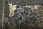 Úspěch pražské zoo: Vydrám hladkosrstým se narodila mláďata