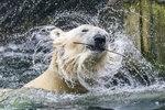 Tom, Berta a Bora se už těší: Zoo Praha chystá průvod s ledními medvědy