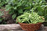 Chcete mít vlastní fazole? Vysadit je můžete i do truhlíku na balkoně!