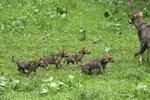 V pražské zoo dovádí malá vlčí paterčata: Začínají pomalu opouštět i svou noru