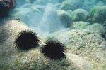Mořští ježci: Ostnatá katastrofa! Jak se zbavit bodlin?