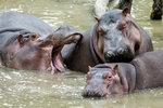 Tragédie ve dvorské zoo: Hrocha Karla Wilhelma (†2) smrtelně zranila samice