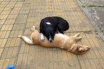 Neopustím tě, kamaráde: Pes se odmítal hnout od mrtvolky chlupatého přítele