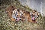 Roztomilí tygří novorozenci: V pražské zoo už znají jejich pohlaví