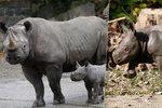Rozverné královédvorské nosorožčí mládě: Mami, já neběhám, já lítám!