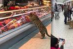 Panika v Lounech? V obchodním centru běhal tygr přímo mezi regály!