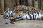 Tygří mláďata v pražské zoo nabírají na váze. Z cukroví to prý nebude