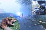 Bobr-záškodník! Ohlodal strom, který spadl na silnici: V Domažlicích se kvůli němu srazila auta
