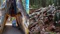 Tisíc let starou sekvojí projelo i auto. Titána z Kalifornie smetla bouře