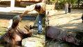 Horor v zoo: Lidské hyeny brutálně ubily hrocha! Umíral několik dní