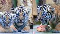 Malí tygříci z pražské zoo rostou jako z vody! Ve čtvrtek se poprvé předvedou před lidmi