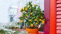 Jak se starat o citrusy, aby ve zdraví přežily zimu