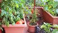 Jak pěstovat zeleninu na balkoně: Sklízet můžete rajčata, okurky i špenát