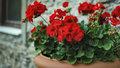 Pěstování muškátů: Jaké koupit truhlíky a kam je umístit, aby bohatě kvetly