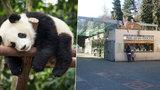 Pandy v pražské zoo na spadnutí: Radní posvětili výstavbu pandária